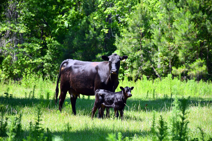 Naturally Raised Angus Beef Cattle